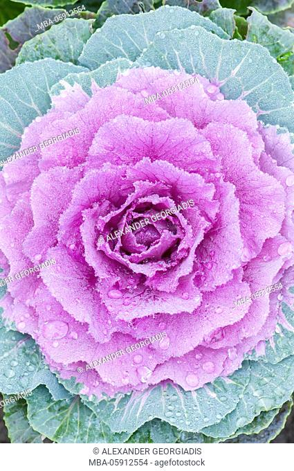 Ornamental cabbage Tokyo Red (Brassica oleracea, Brassicaceae) from above