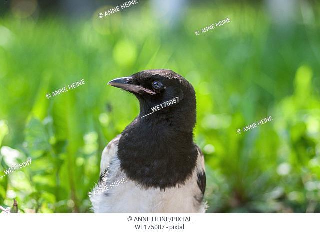 Closeup of a young magpie. Calgary, Alberta, Canada
