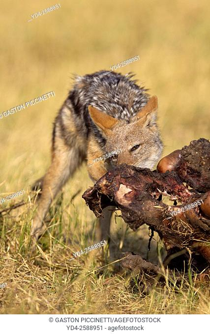 Black-backed Jackal (Canis mesomelas) - Eating the carcass of a Cape Buffalo (Syncerus caffer caffer). Savuti, Chobe National Park, Botswana