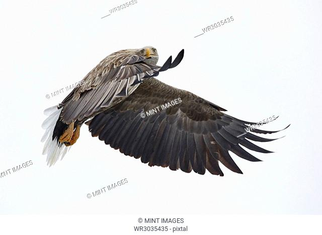 White-Tailed Eagle, Haliaeetus albicilla, mid-air, winter