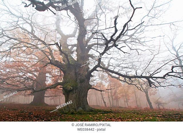 Chestnut trunks in Castañar del Tiemblo. Castilla-León. Spain