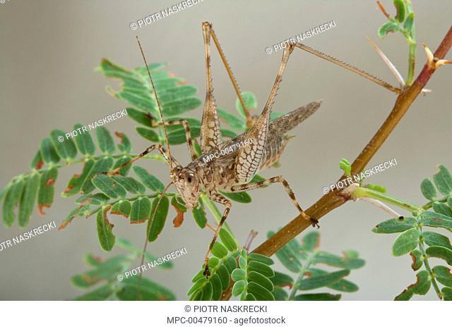 Katydid (Ewanella longipes), Richtersveld, Northern Cape, South Africa