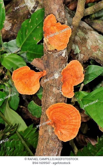 Wood mushrooms, Madidi National Park in the upper Amazon river basin in Bolivia