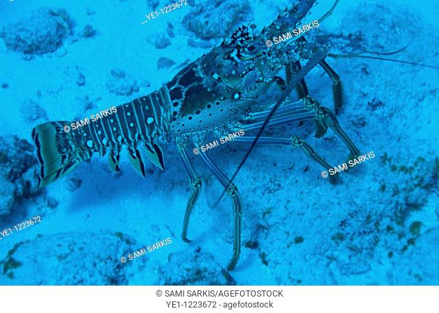 Spiny lobster on the sandy ocean floor, Paso del Cedral, Cozumel Island, Mexico