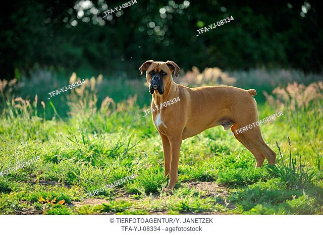 standing German Boxer