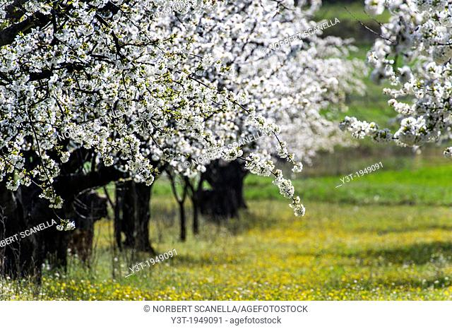 Europe, France, Vaucluse, Luberon. Surroundings of Bonnieux. Field of cherry blossoms