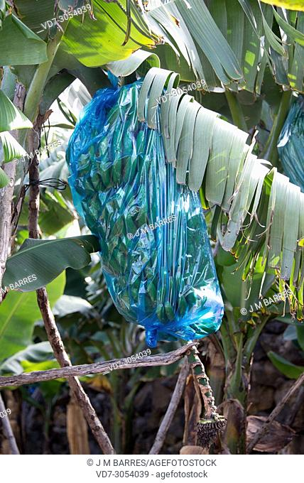 Banana (Musa x paradisiaca) is a hybrid plant between Musa balbisiana and Musa acuminata. . Culture in La Palma Island, Canary Islands, Spain