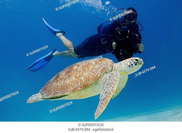A diver films a green sea turtle Chelonia mydas swimming off of Dimakya Island in the Phillippines