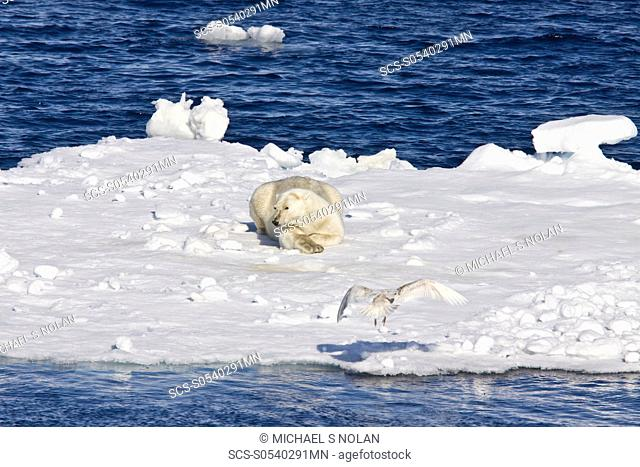 Adult polar bear Ursus maritimus resting on multi-year ice floes in the Barents Sea off the eastern coast of EdgeØya Edge Island in the Svalbard Archipelago