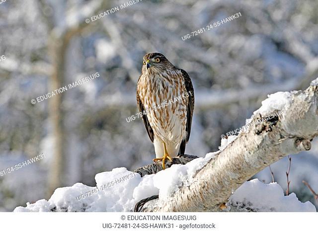 Sharp-Shinned Hawk in Birch tree, Wellfleet, Cape Cod Massachusetts