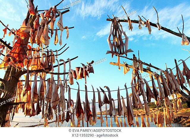 Fish hanged to dry at sun in a tree called Sabina in the island of Formentera Spain  The dried fish Peix Sec is a typical recipe of the Balearic gastronomy