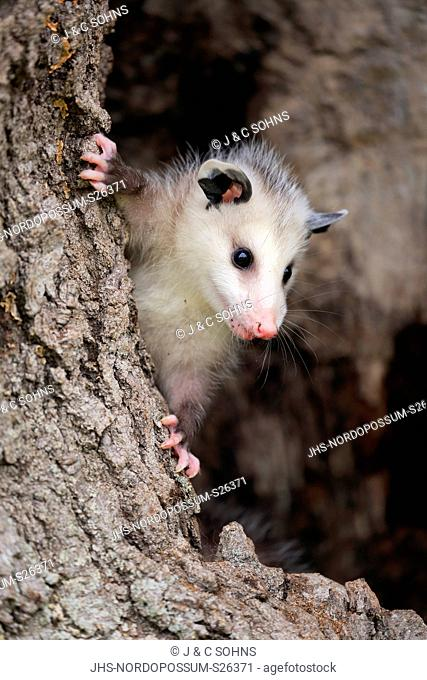 Virginia opossum, North American opossum, (Didelphis virginiana), young at tree trunk alert, portrait, Pine County, Minnesota, USA, North America