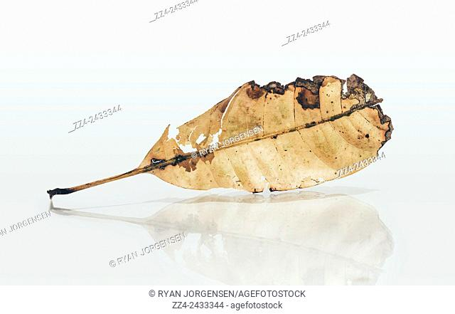 Fragile still life nature photograph of a weathered autumn leaf passing a reflection in natural decay. Exhibit in defoliation