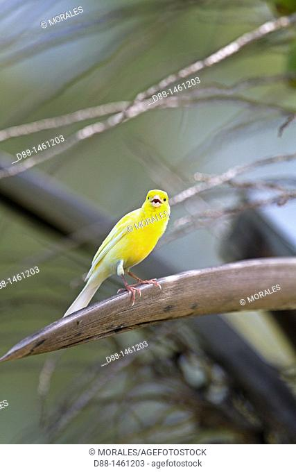Hawaï , Midway , Sand Island , Common Canary  Serinus canaria