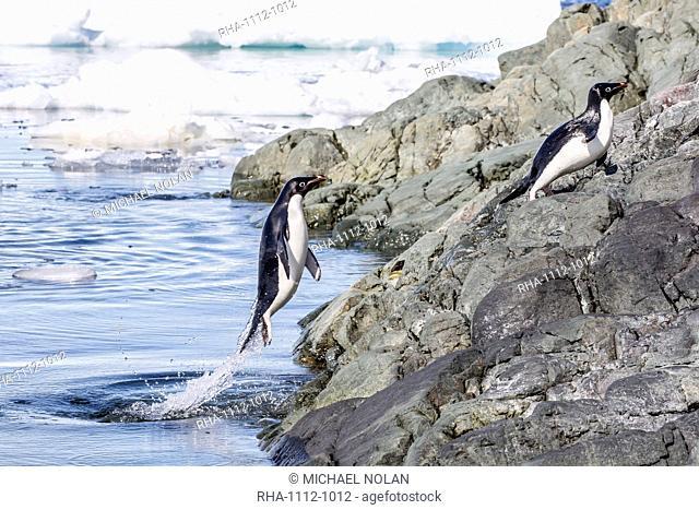 Adelie penguins (Pygoscelis adeliae), Yalour Islands, Antarctic Peninsula, Antarctica, Polar Regions
