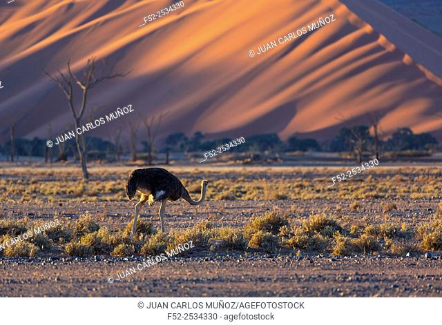 Ostrich or common ostrich (Struthio camelus), Namib Naukluft National Park, Namibia, Africa