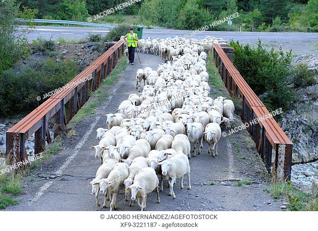 Flock of sheep crossing the river Aragón Subordán by an old bridge. Valey of Hecho. Pyrenees mountains. Huesca province. Aragón. Spain