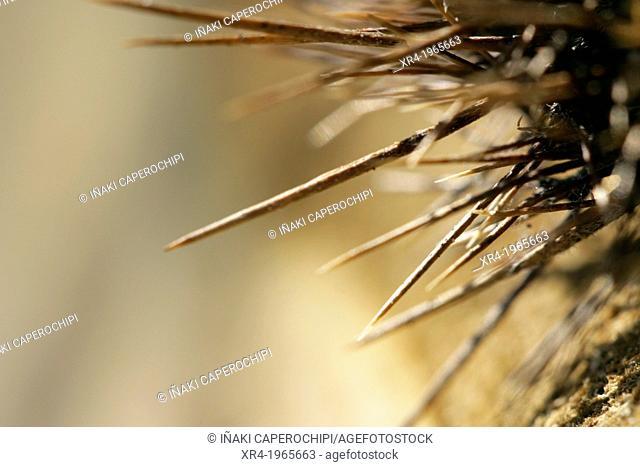 Chestnut spikes