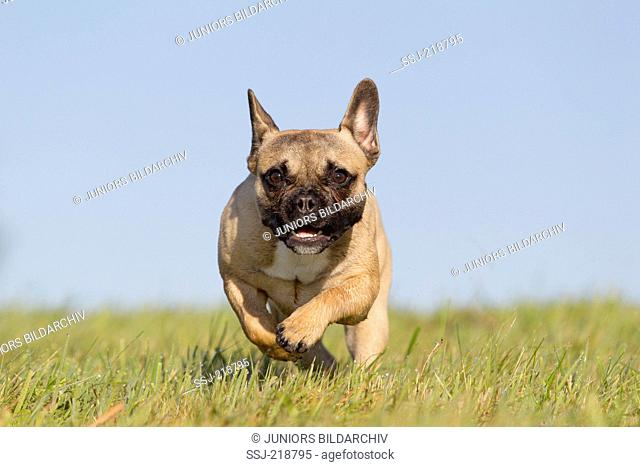 French Bulldog on grass, running towards the camera. Germany