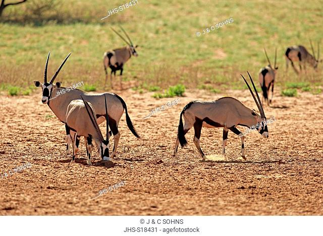 Gemsbok, Gemsbuck, Oryx, (Oryx gazella), group of adults, Tswalu Game Reserve, Kalahari, Northern Cape, South Africa, Africa