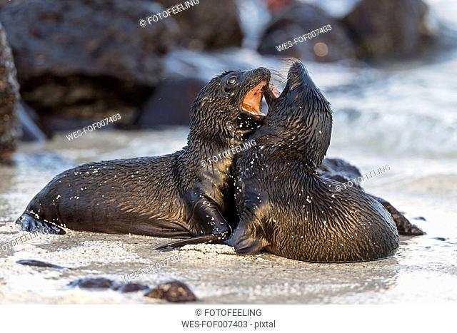 Ecuador, Galapagos Islands, Santa Fe, two young sea lions playing