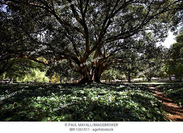 Moreton Bay fig tree (Ficus macrophylla) in Hyde Park, Perth, Western Australia, Australia