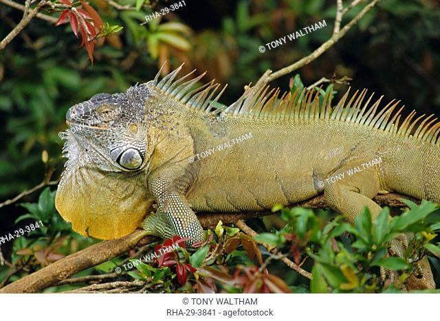 Green Iguana Iguana iguana, basking in tree foliage, Muelle San Carlos, Costa Rica, Central America