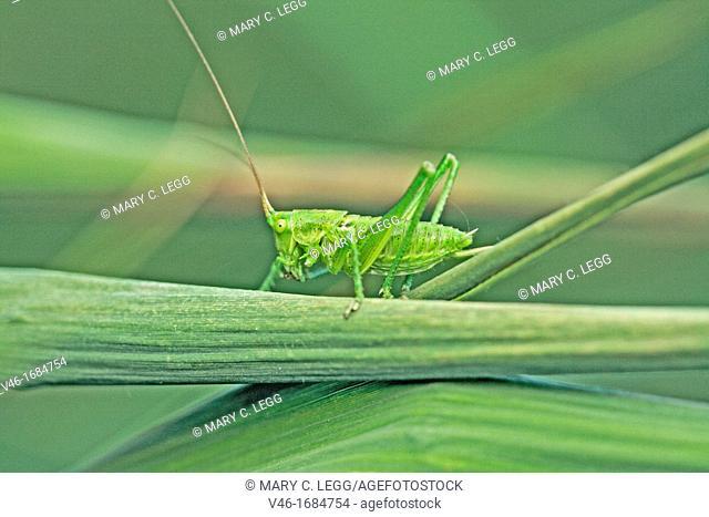 Speckled Bush Cricket Leptophyes punctatissima nymph female