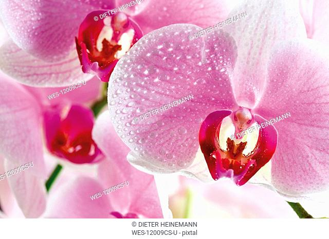Orchid blossoms, close-up