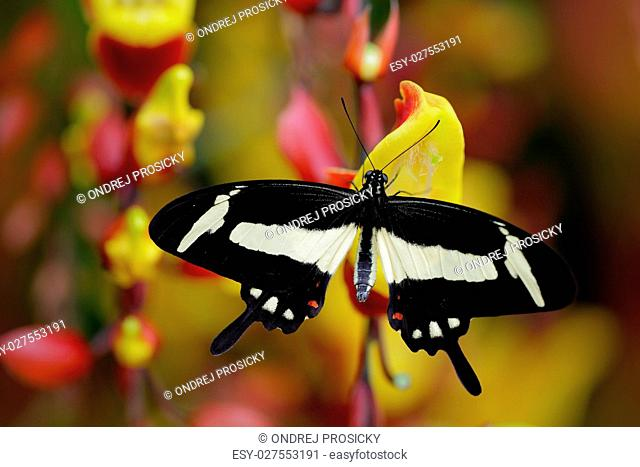 Black and white swallowtail butterfly