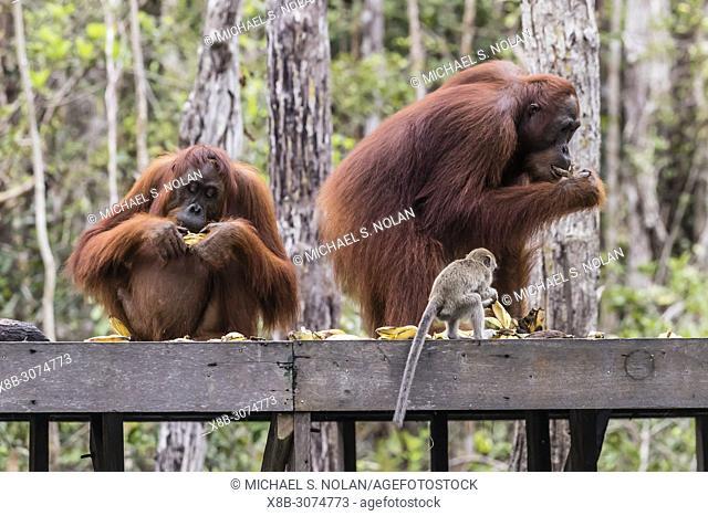 Long-tailed macaque, Macaca fascicularis, with orangutans, Pongo pygmaeus, Borneo, Indonesia