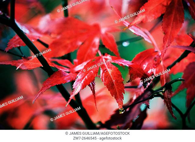 Acer palmatum variety Bloodgood Autumn colour