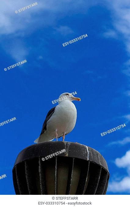 California Gull (Larus californicus) perched on a light at the beach near Pacific Ocean