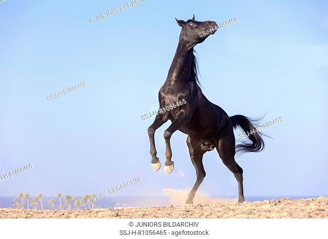Arabian Horse. Black stallion rearing in the desert. Egypt