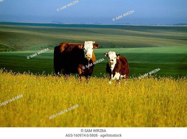 Livestock - Hereford beef cow and calf on a hilltop pasture / Canada - Alberta, nr. Monarch