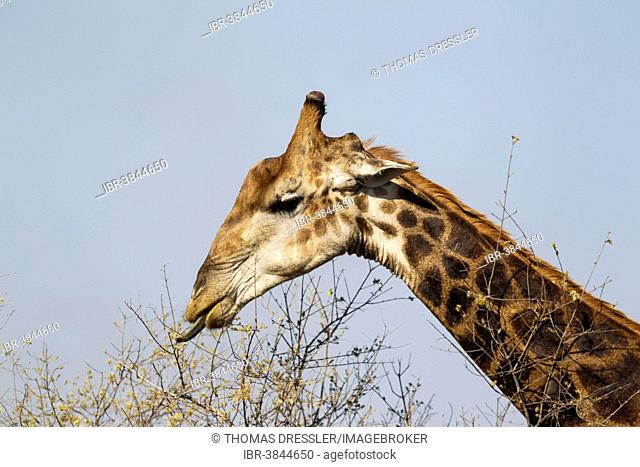 Southern Giraffe (Giraffa camelopardalis giraffa), bull collects flowers and leaves with his extensible tongue, Kruger National Park, South Africa