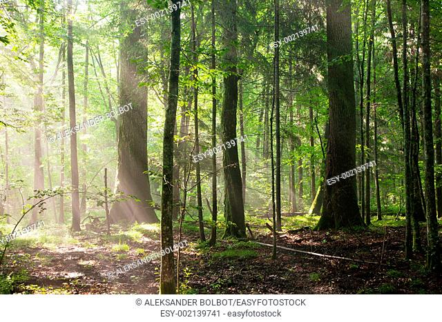 Misty deciduous stand in morning, Bialowieza Forest, , Podlasie Province, Poland