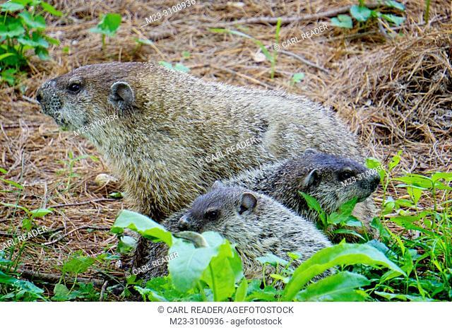 A groundhog family, Marmota monax, sticks together, Pennsylvania, USA