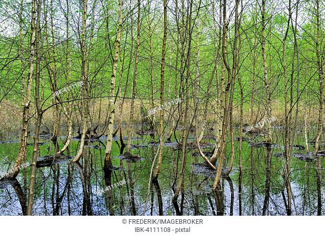 Birch trees (Betula) in the moor waters of the Venner Moor Nature Reserve, North Rhine-Westphalia, Germany