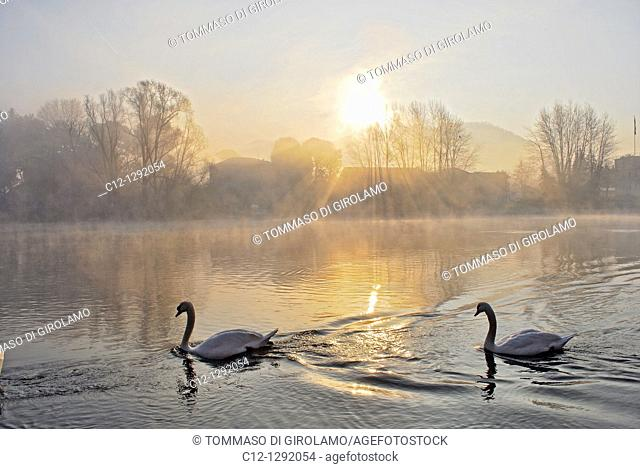 Swans, winter landscape, Adda River, Lombardy, Italy