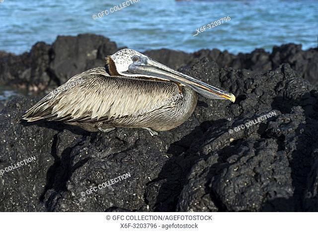 Brown Pelican (Pelicanus Occidentalis urinator), a subspecies endemic to Galapagos, resting on lava rocks, Isabela Island, Galapagos Islands, Ecuador