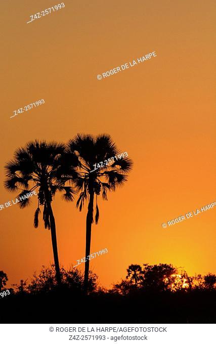 Real fan palm or Makalani palm (Hyphaene petersiana) at sunset . Okavango Delta. Botswana
