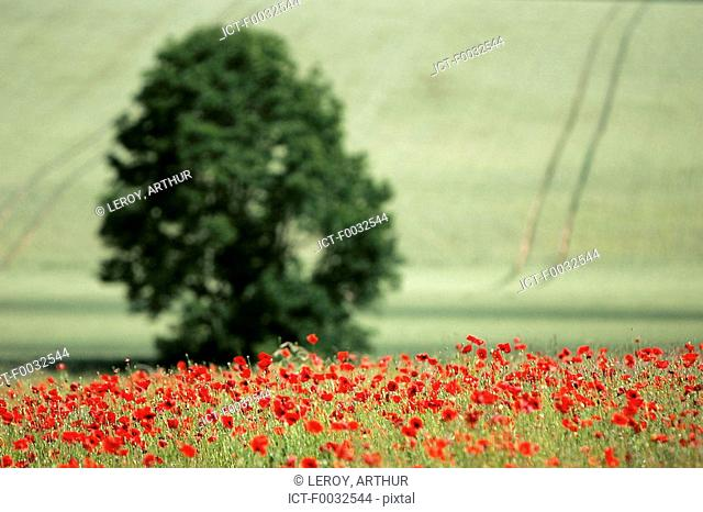 France, Burgundy, fields of poppies