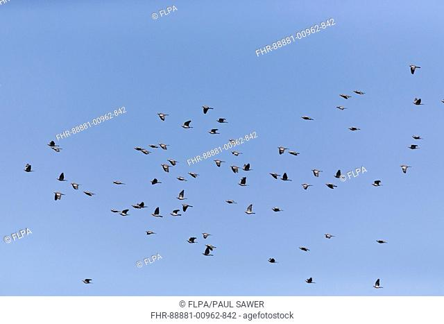 Woodpigeon (Columba palumbus) adult flock, flying, Suffolk, England, March
