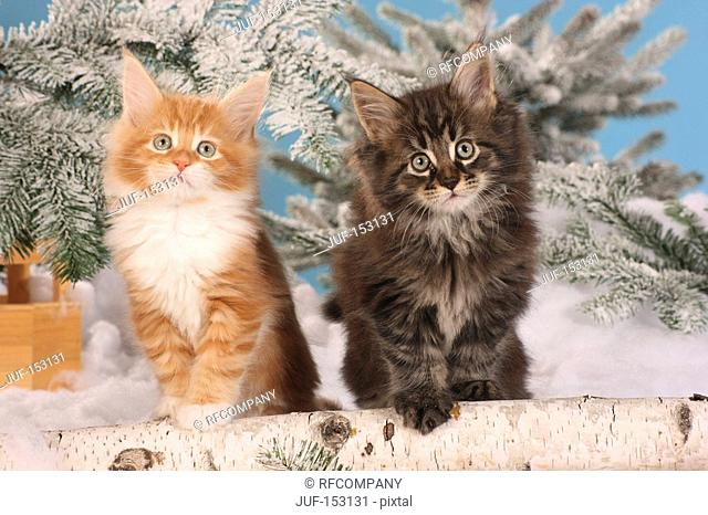 Maine Coon cat - two kittens sitting in the snow