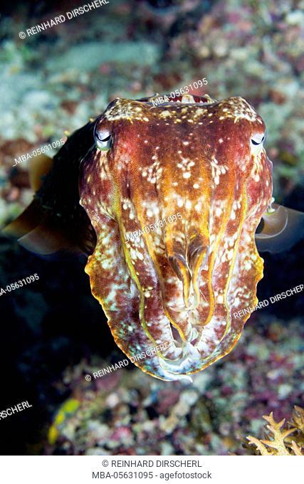 Wide haunch cuttlefish, cuttlefish latimanus, Florida Islands, the Solomon Islands
