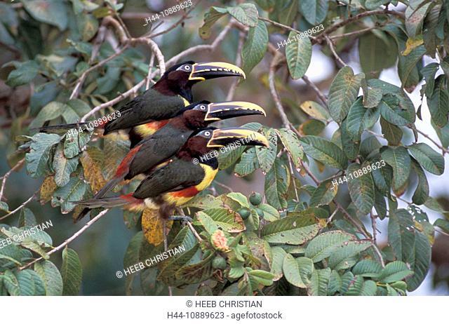 Chestnut-eared Aracari, Pteroglossus castanotis, Pantanal, near Cuiaba, Mato Grosso, Brazil, South America, bird, tree