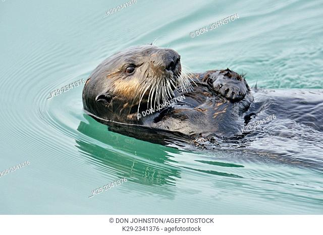 Sea otter (Enhydra lutris) Loafing and preening after feeding, Morro Bay, California, USA