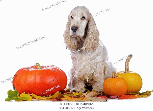 English Cocker Spaniel. Adult dog (orange roan) sitting between pumpkins on autum leaves. Germany