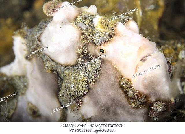 Warty frogfish, Antennarius maculatus, Anilao, Batangas, Philippines, Pacific